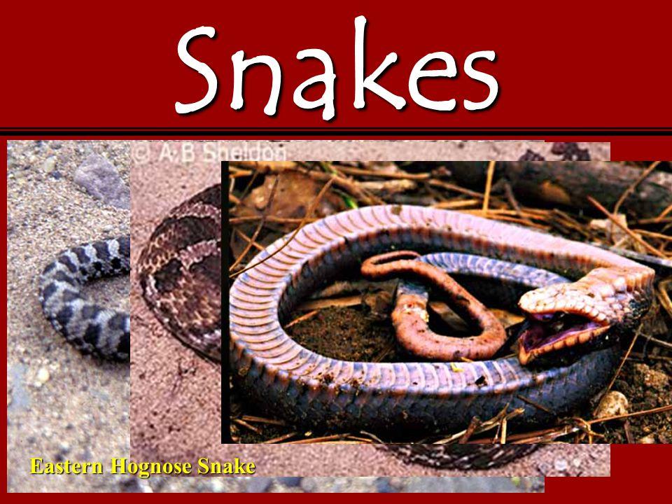 Snakes Eastern Hognose Snake
