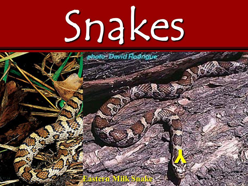 Snakes Y Y Eastern Milk Snake