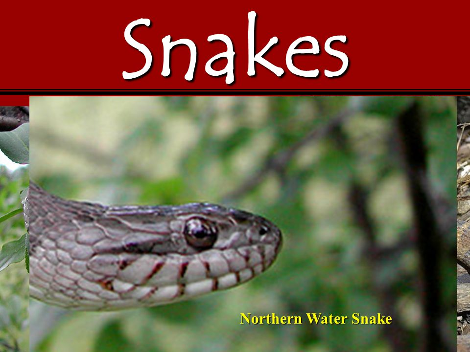 Snakes Northern Water Snake