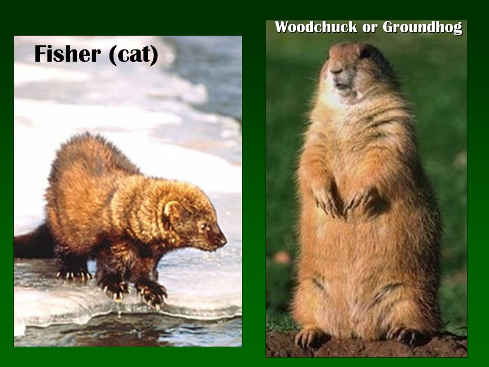 Fisher (cat) Woodchuck or Groundhog