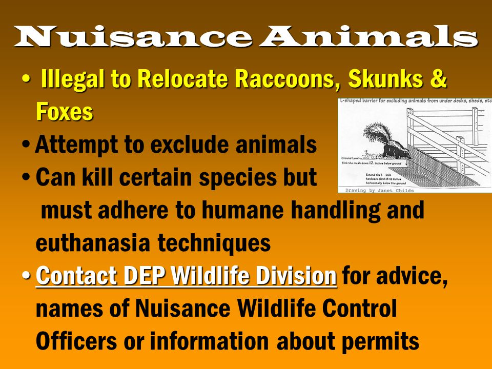 Illegal to Relocate Raccoons, Skunks & Foxes Illegal to Relocate Raccoons, Skunks & Foxes Attempt to exclude animals Can kill certain species but must adhere to humane handling and euthanasia techniques Contact DEP Wildlife DivisionContact DEP Wildlife Division for advice, names of Nuisance Wildlife Control Officers or information about permits