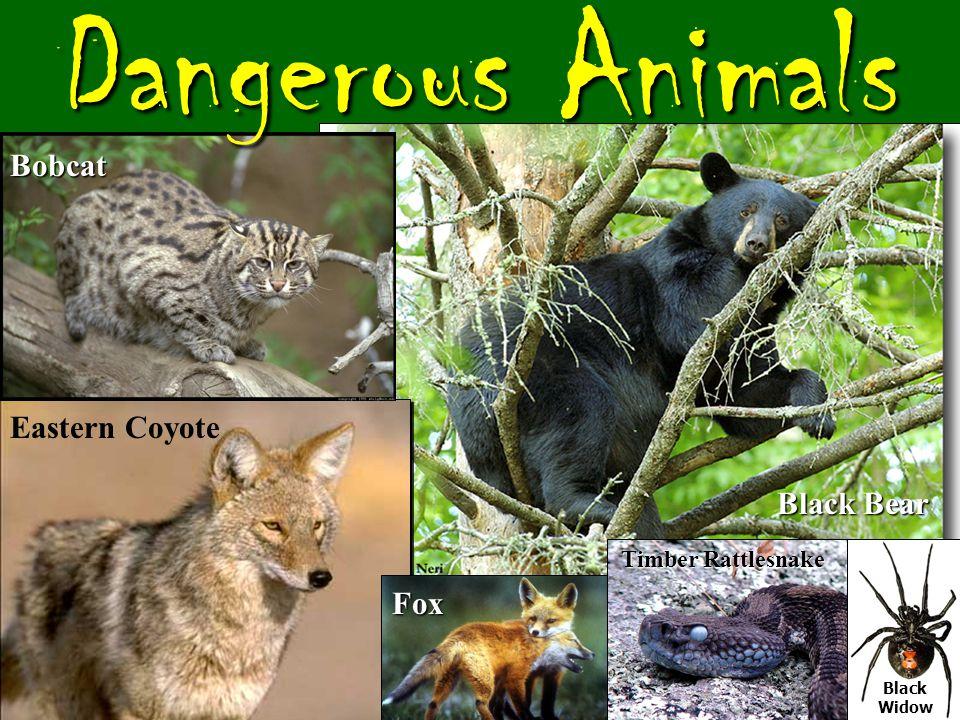 Large Predators Mountain Lion Timber Wolf