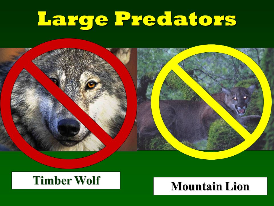 Large Predators Mountain Lion Timber Wolf