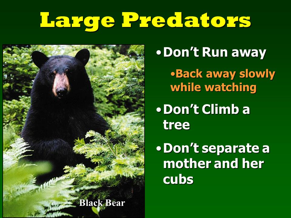 Large Predators Black Bear Don't Run awayDon't Run away Back away slowly while watchingBack away slowly while watching Don't Climb a treeDon't Climb a tree Don't separate a mother and her cubsDon't separate a mother and her cubs