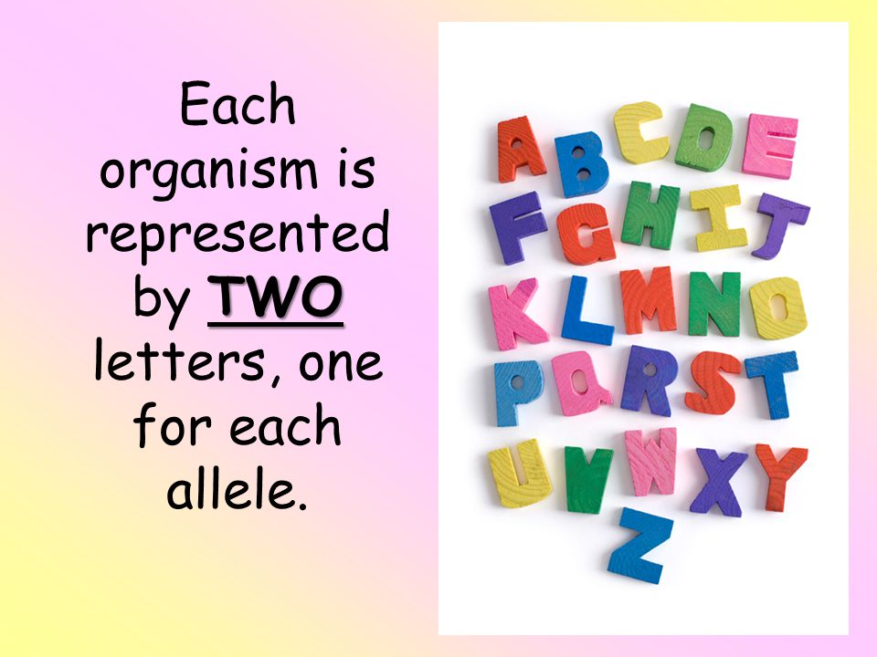 TWO Each organism is represented by TWO letters, one for each allele.