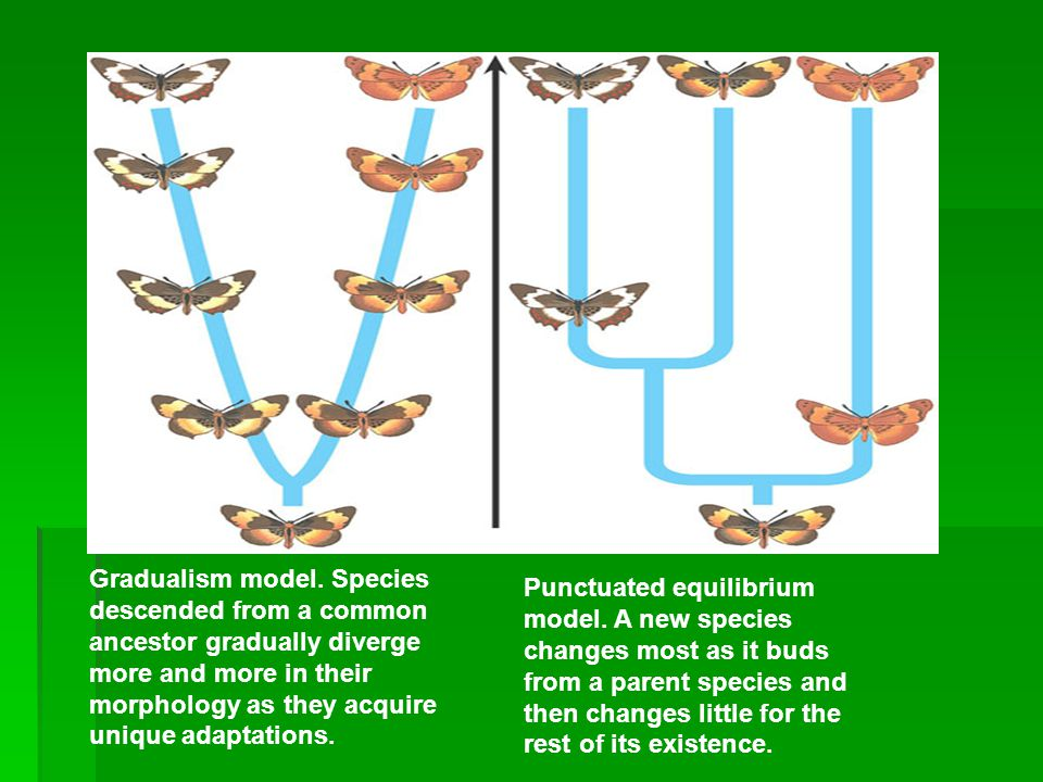 Gradualism model. Species descended from a common ancestor gradually diverge more and more in their morphology as they acquire unique adaptations. Tim