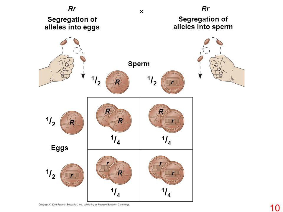 Rr  Segregation of alleles into eggs Sperm R R R R R R r r r r r r 1/21/2 1/21/2 1/21/2 1/21/2 Segregation of alleles into sperm Eggs 1/41/4 1/41/4 1/41/4 1/41/4 10