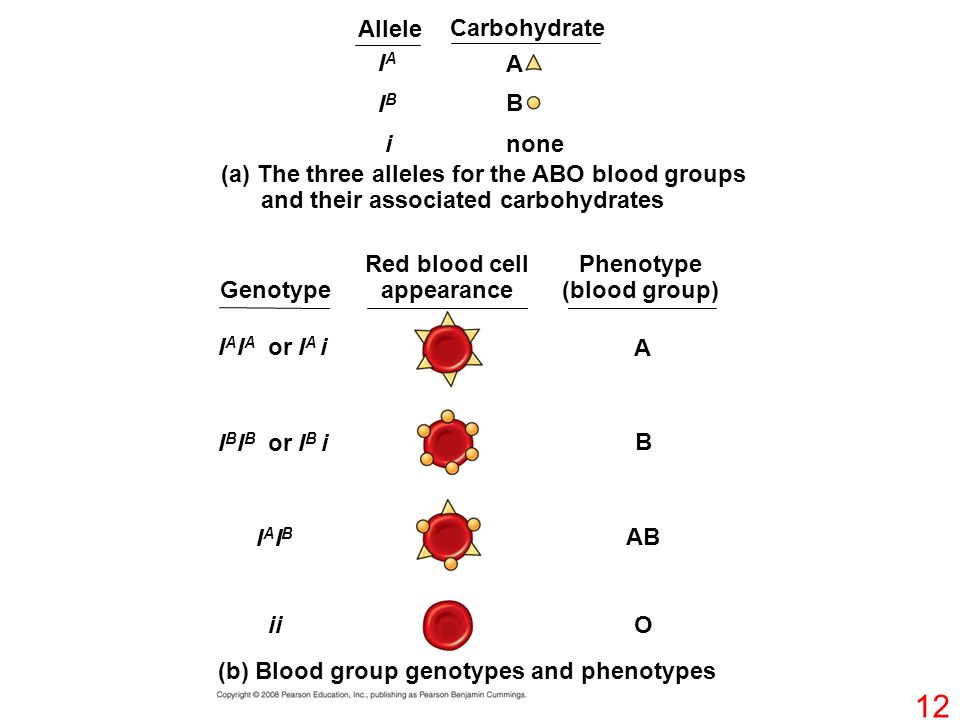 IAIA IBIB i A B none (a) The three alleles for the ABO blood groups and their associated carbohydrates Allele Carbohydrate Genotype Red blood cell appearance Phenotype (blood group) I A I A or I A i A B I B I B or I B i IAIBIAIB AB iiO (b) Blood group genotypes and phenotypes 12