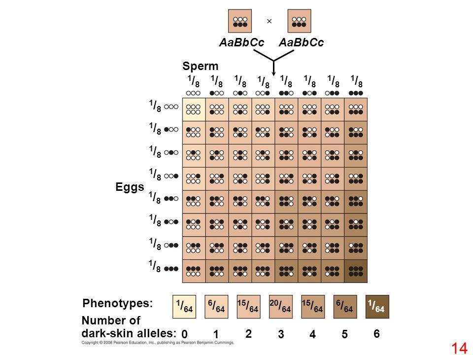 Eggs Sperm Phenotypes: Number of dark-skin alleles: 0 1 2 345 6 1 / 64 6 / 64 15 / 64 20 / 64 15 / 64 6 / 64 1 / 64 1/81/8 1/81/8 1/81/8 1/81/8 1/81/8 1/81/8 1/81/8 1/81/8 1/81/8 1/81/8 1/81/8 1/81/8 1/81/8 1/81/8 1/81/8 1/81/8 AaBbCc  14