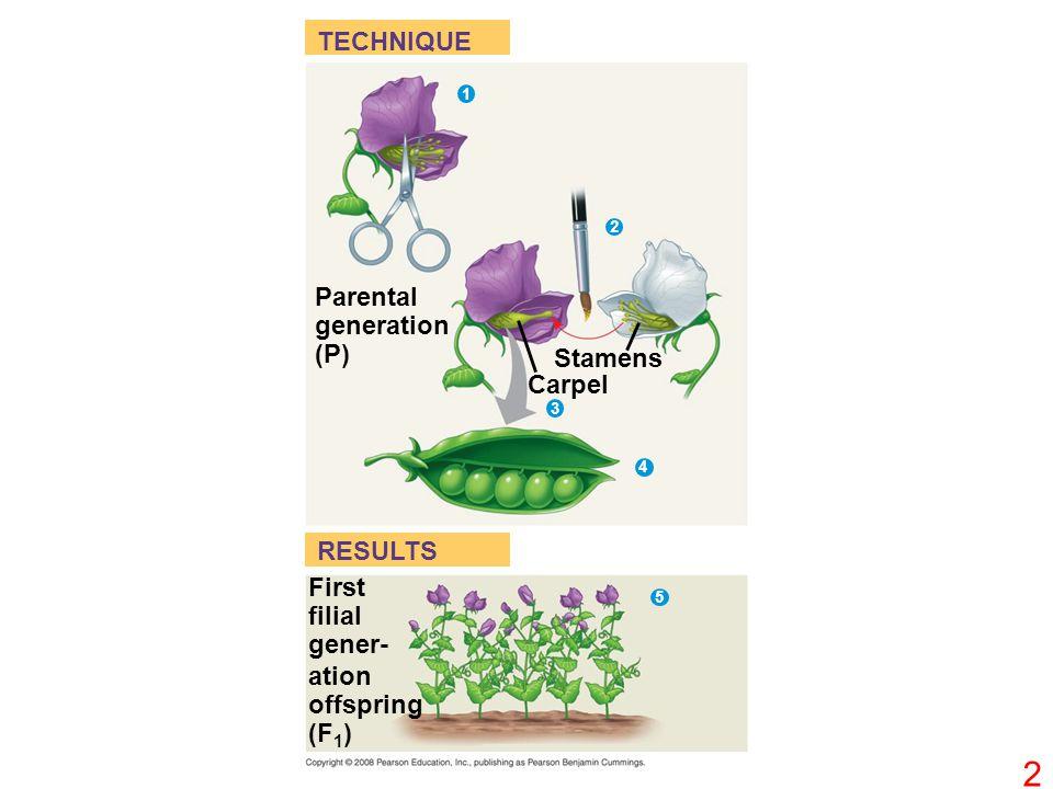 TECHNIQUE RESULTS Parental generation (P) Stamens Carpel 1 2 3 4 First filial gener- ation offspring (F 1 ) 5 2