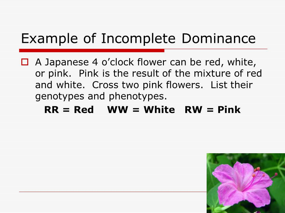 Example of Incomplete Dominance  A Japanese 4 o'clock flower can be red, white, or pink. Pink is the result of the mixture of red and white. Cross tw