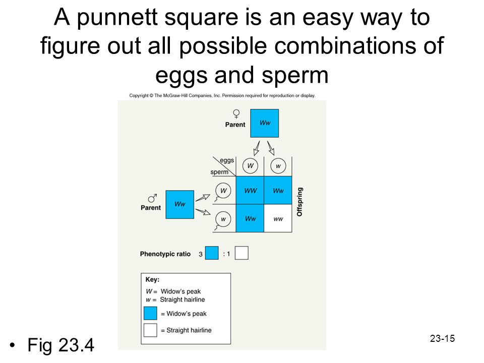 23-15 A punnett square is an easy way to figure out all possible combinations of eggs and sperm Fig 23.4
