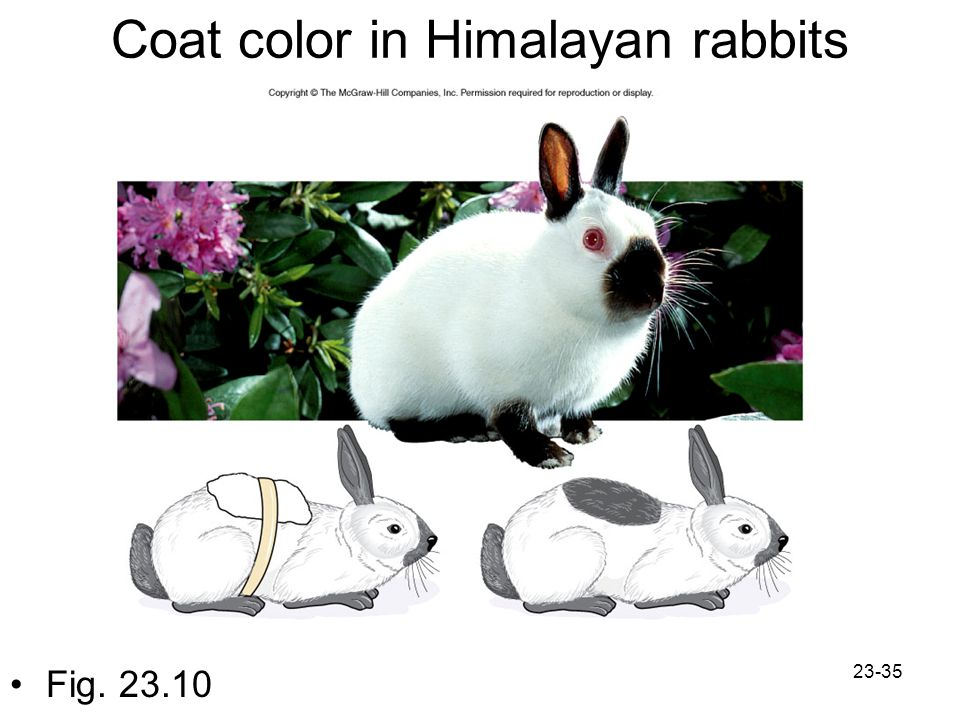 23-35 Coat color in Himalayan rabbits Fig. 23.10