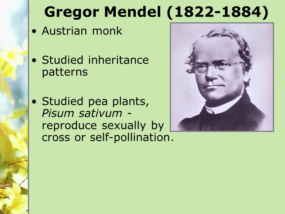 Austrian monk Studied inheritance patterns Studied pea plants, Pisum sativum - reproduce sexually by cross or self-pollination.