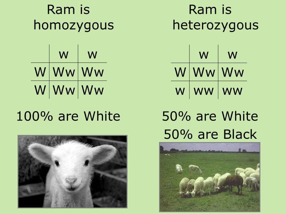 Ram is homozygous 100% are White ww WWw W Ram is heterozygous 50% are White 50% are Black ww WWw www