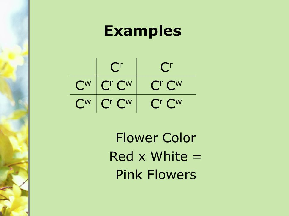Flower Color Red x White = Pink Flowers CrCr CrCr CwCw C r C w CwCw Examples