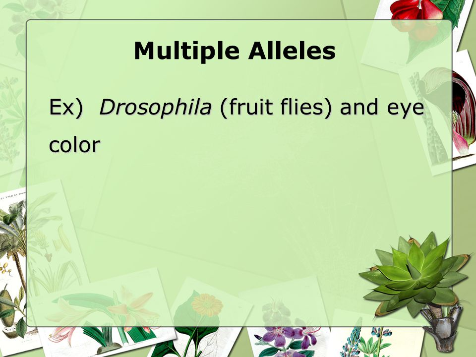 Multiple Alleles Ex) Drosophila (fruit flies) and eye color