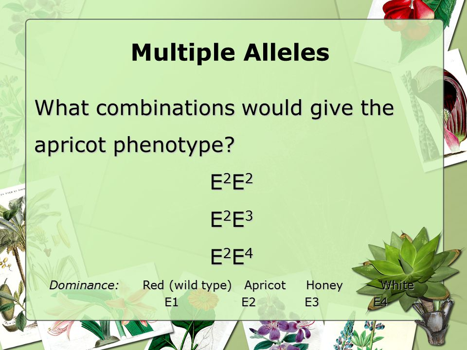 Multiple Alleles What combinations would give the apricot phenotype? E2E2E2E2E2E2E2E2 E2E3E2E3E2E3E2E3 E2E4E2E4E2E4E2E4 Dominance:Red (wild type) Apri