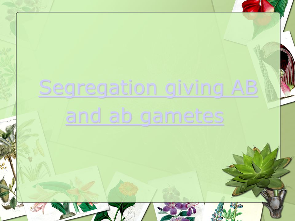 Segregation giving AB Segregation giving AB and ab gametesand ab gametes and ab gametes and ab gametes