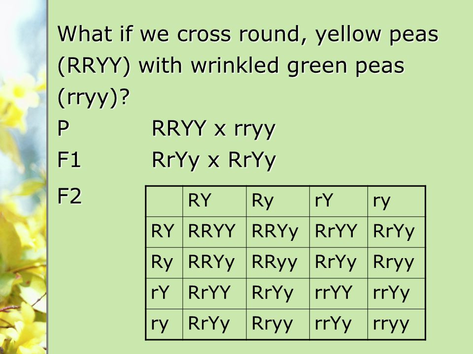What if we cross round, yellow peas (RRYY) with wrinkled green peas (rryy).