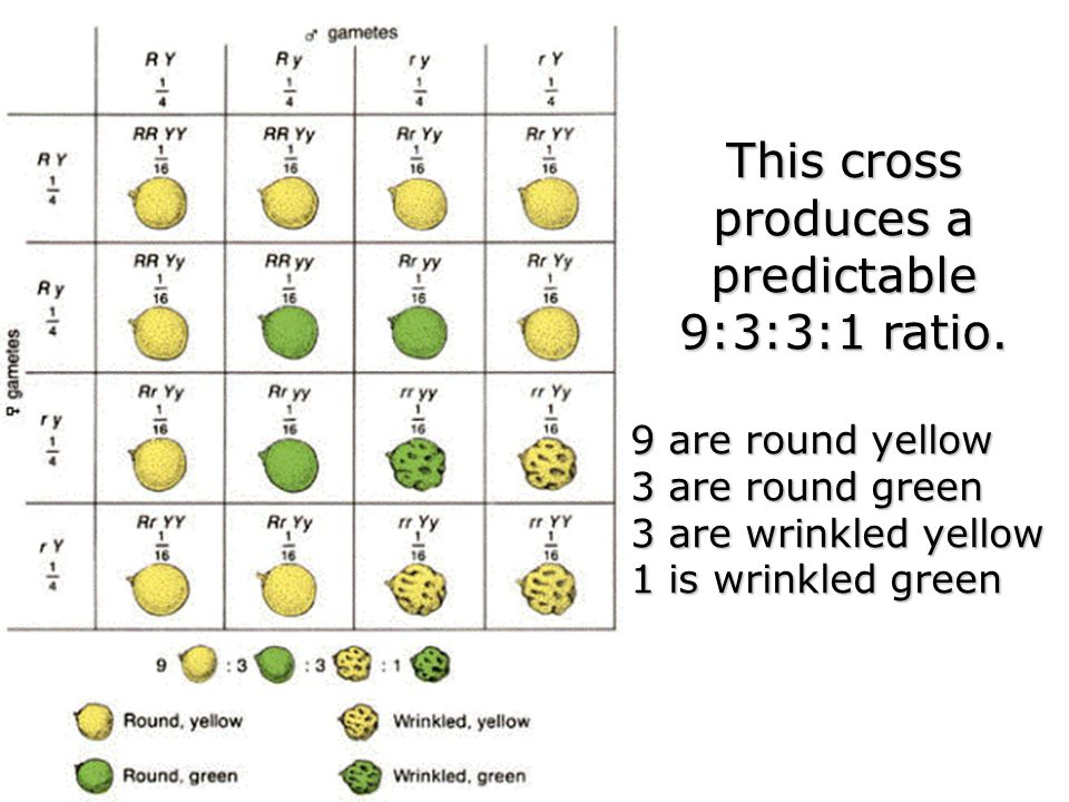 This cross produces a predictable 9:3:3:1 ratio. 9 are round yellow 3 are round green 3 are wrinkled yellow 1 is wrinkled green