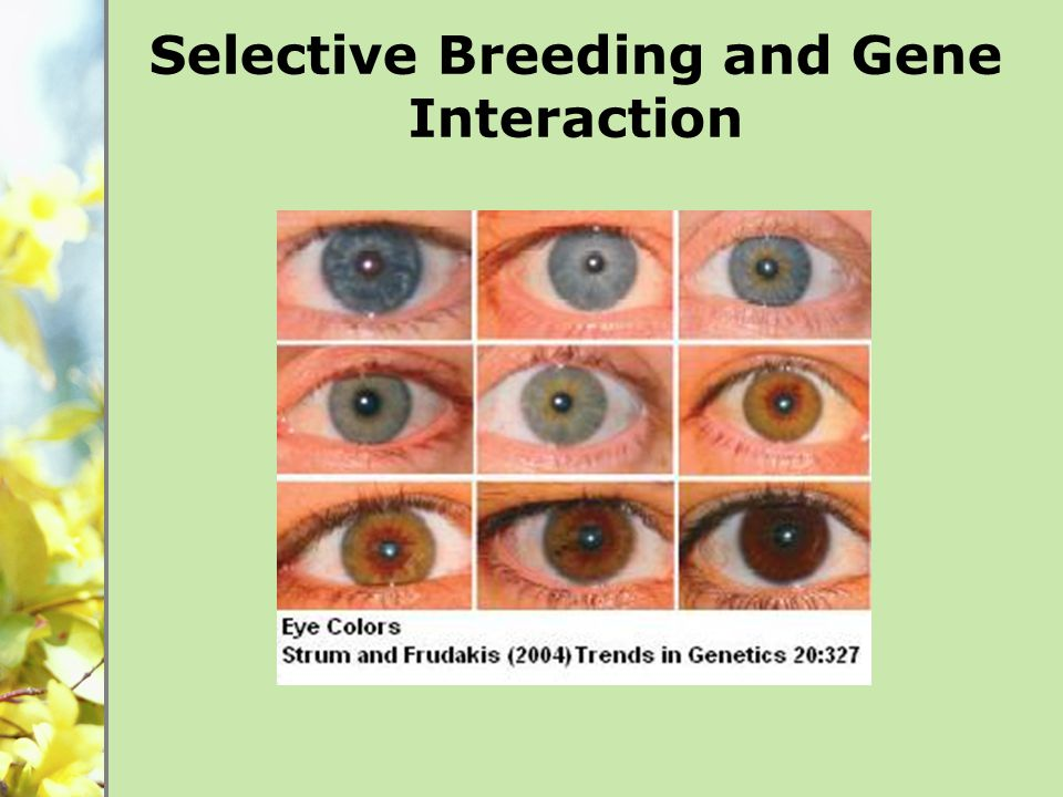 Selective Breeding and Gene Interaction