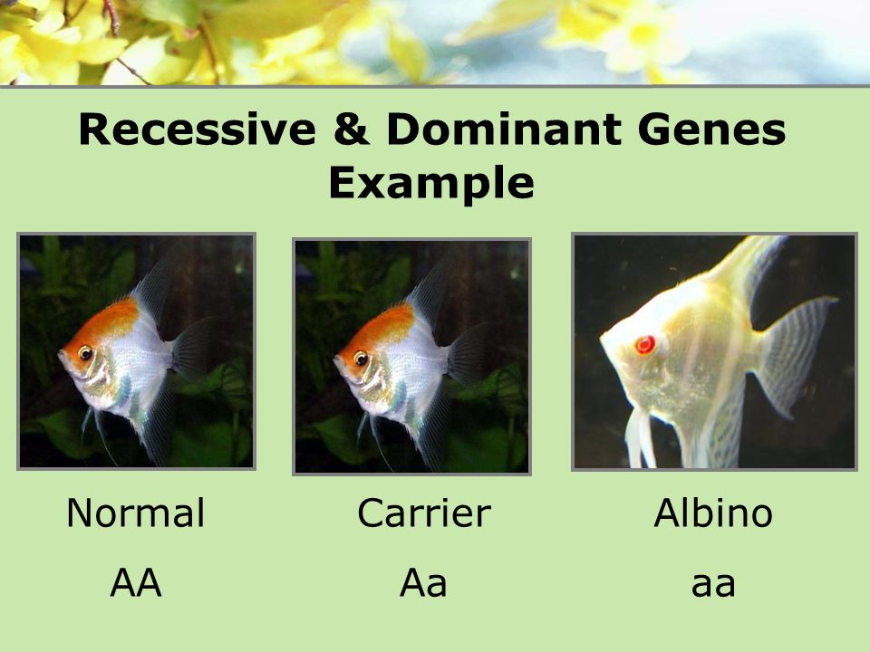 Recessive & Dominant Genes Example Normal AA Carrier Aa Albino aa