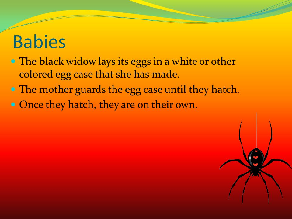 Body Parts of A Black Widow I am a black widow.I have 2 body parts.