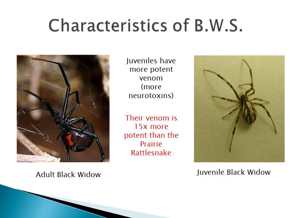 Adult Black Widow Juvenile Black Widow Juveniles have more potent venom (more neurotoxins) Their venom is 15x more potent than the Prairie Rattlesnake
