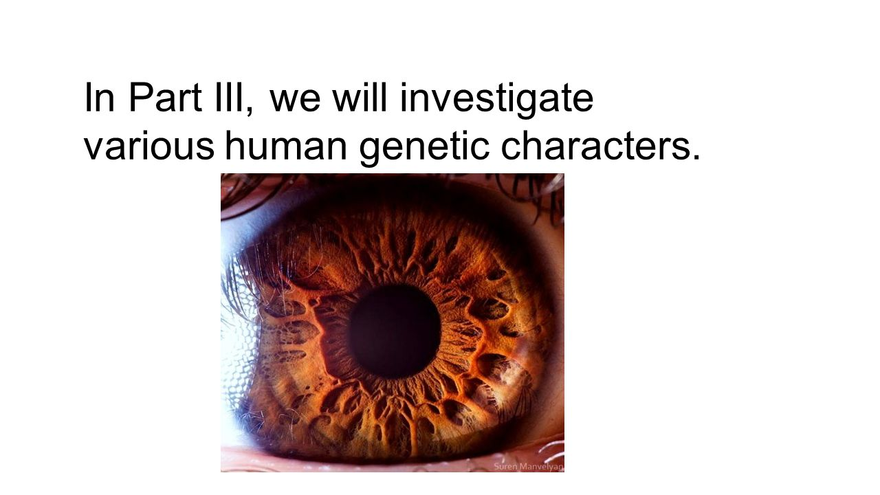 In Part III, we will investigate various human genetic characters.