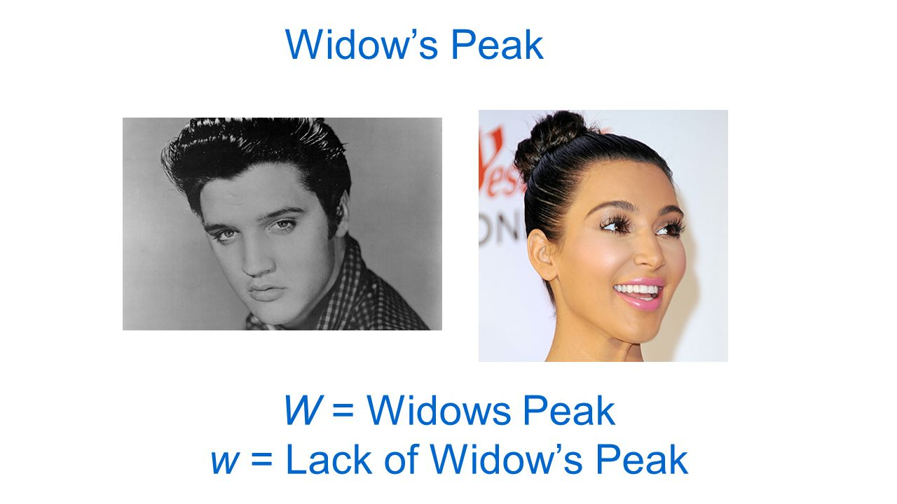 Widow's Peak W = Widows Peak w = Lack of Widow's Peak