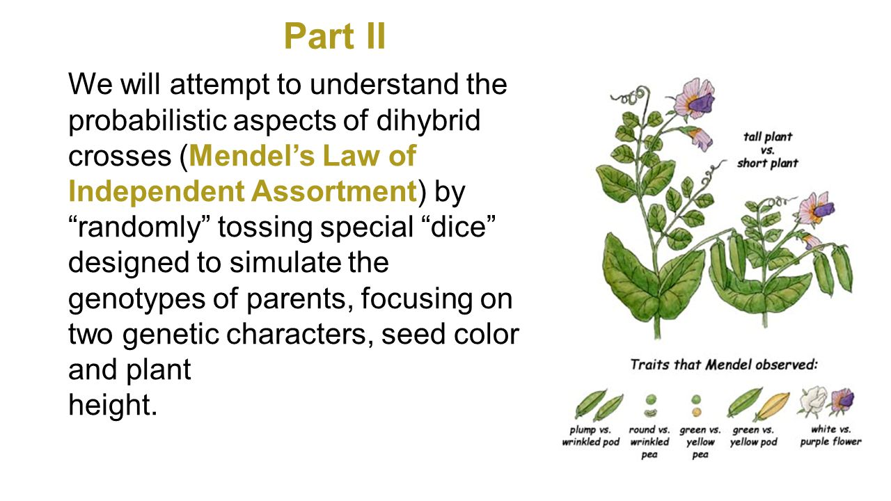 We will attempt to understand the probabilistic aspects of dihybrid crosses (Mendel's Law of Independent Assortment) by randomly tossing special dice designed to simulate the genotypes of parents, focusing on two genetic characters, seed color and plant height.