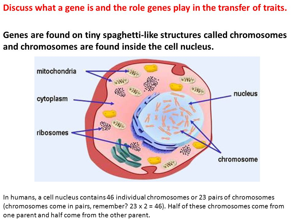 What Is a Gene.Each cell in the human body contains about 25,000 to 35,000 genes.