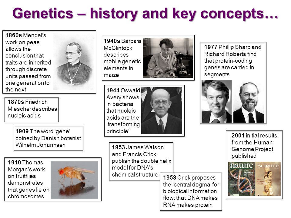 1953 James Watson and Francis Crick publish the double helix model for DNA's chemical structure 1860s Mendel's work on peas allows the conclusion that traits are inherited through discrete units passed from one generation to the next 1870s Friedrich Miescher describes nucleic acids 1910 Thomas Morgan's work on fruitflies demonstrates that genes lie on chromosomes 1940s Barbara McClintock describes mobile genetic elements in maize 1958 Crick proposes the 'central dogma' for biological information flow: that DNA makes RNA makes protein 1909 The word 'gene' coined by Danish botanist Wilhelm Johannsen 1944 Oswald Avery shows in bacteria that nucleic acids are the 'transforming principle' 1977 Phillip Sharp and Richard Roberts find that protein-coding genes are carried in segments 2001 initial results from the Human Genome Project published Genetics – history and key concepts…