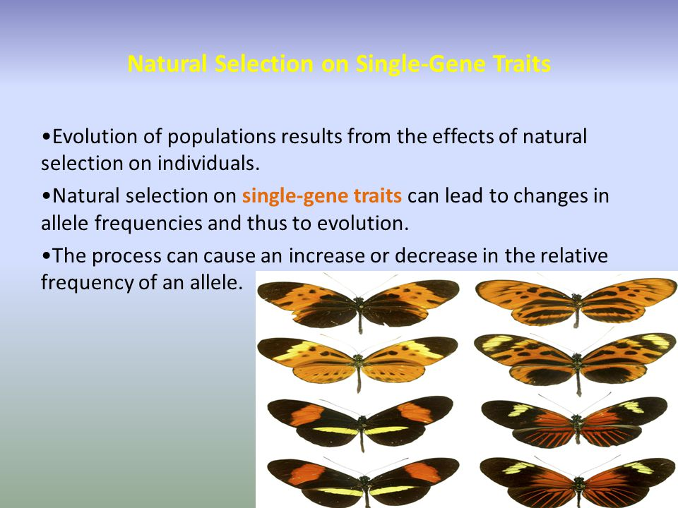 Natural Selection on Single-Gene Traits Evolution of populations results from the effects of natural selection on individuals. Natural selection on si