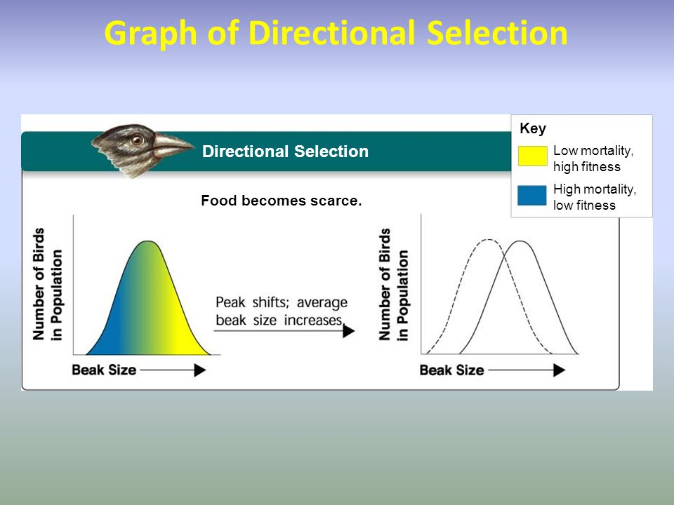 Directional Selection Food becomes scarce. Key Low mortality, high fitness High mortality, low fitness Graph of Directional Selection