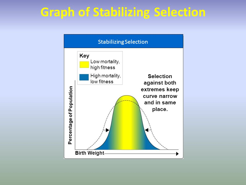 Key Percentage of Population Birth Weight Selection against both extremes keep curve narrow and in same place. Graph of Stabilizing Selection Low mort