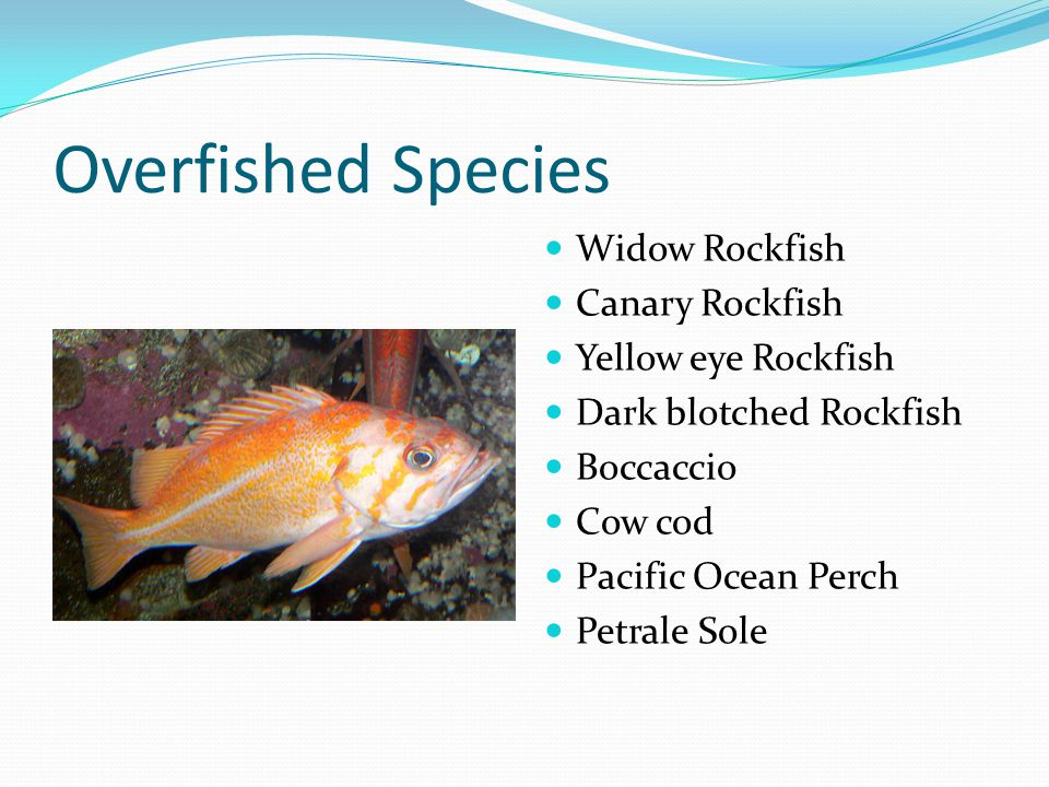 Overfished Species Widow Rockfish Canary Rockfish Yellow eye Rockfish Dark blotched Rockfish Boccaccio Cow cod Pacific Ocean Perch Petrale Sole