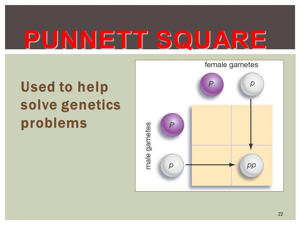 22 PUNNETT SQUARE Used to help solve genetics problems