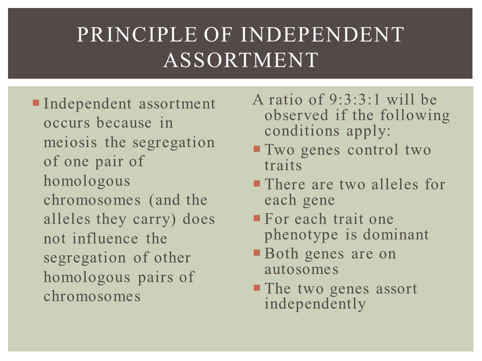 PRINCIPLE OF INDEPENDENT ASSORTMENT  Independent assortment occurs because in meiosis the segregation of one pair of homologous chromosomes (and the alleles they carry) does not influence the segregation of other homologous pairs of chromosomes A ratio of 9:3:3:1 will be observed if the following conditions apply:  Two genes control two traits  There are two alleles for each gene  For each trait one phenotype is dominant  Both genes are on autosomes  The two genes assort independently