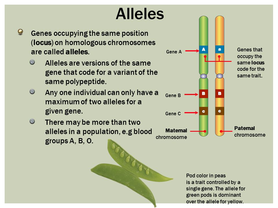Alleles Genes occupying the same position (locus) on homologous chromosomes are called alleles.
