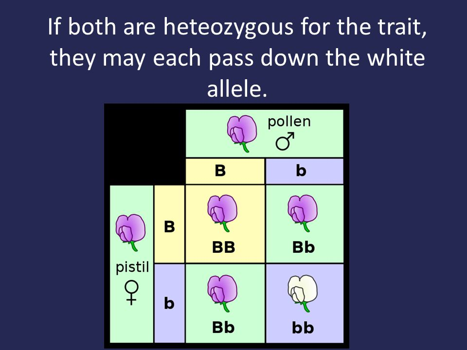 If both are heteozygous for the trait, they may each pass down the white allele.