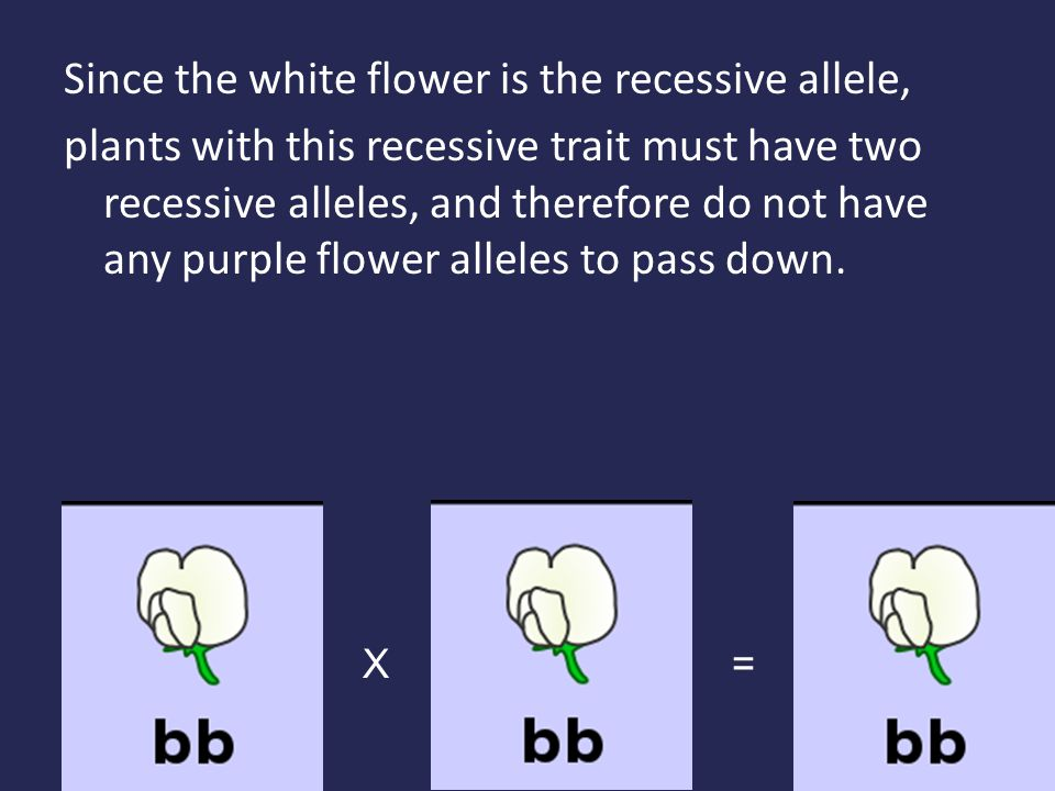 Since the white flower is the recessive allele, plants with this recessive trait must have two recessive alleles, and therefore do not have any purple