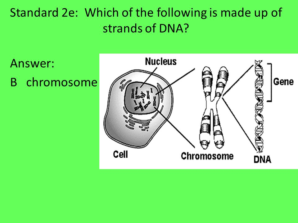 Standard 2e: Which of the following is made up of strands of DNA Answer: B chromosome