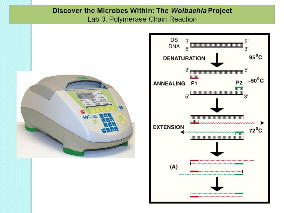 Discover the Microbes Within: The Wolbachia Project Lab 3: Polymerase Chain Reaction
