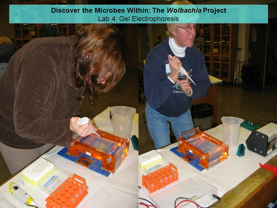 Discover the Microbes Within: The Wolbachia Project Lab 4: Gel Electrophoresis