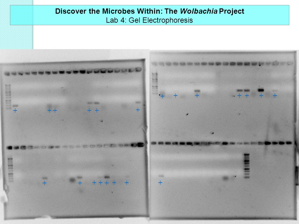 +++++ + +++ +++++ ++++++ + Discover the Microbes Within: The Wolbachia Project Lab 4: Gel Electrophoresis