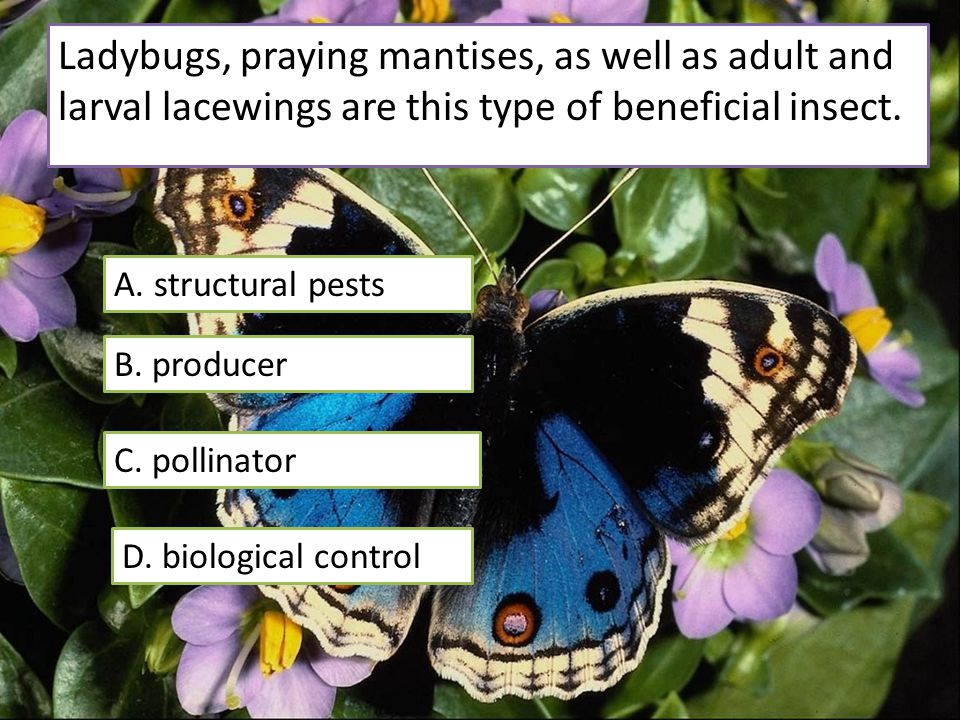 Ladybugs, praying mantises, as well as adult and larval lacewings are this type of beneficial insect.