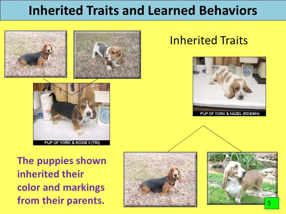 Inherited Traits and Learned Behaviors Inherited Traits The puppies shown inherited their color and markings from their parents. 5
