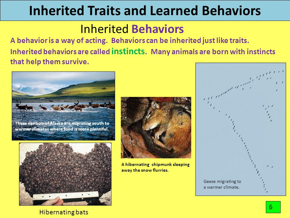 Inherited Traits and Learned Behaviors Inherited Behaviors A behavior is a way of acting. Behaviors can be inherited just like traits. Inherited behav